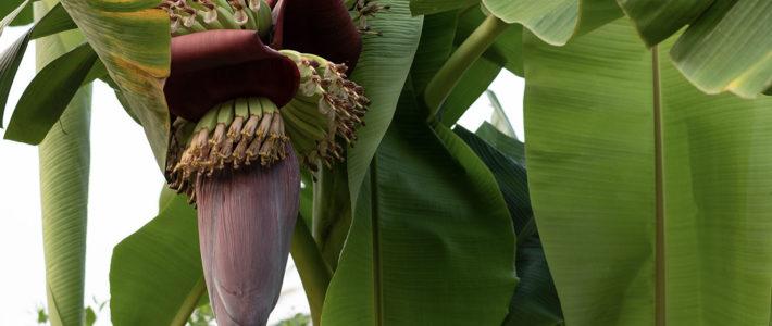 Banane – mehr als nur krumm