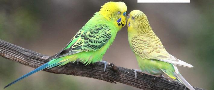 Mini Papagei